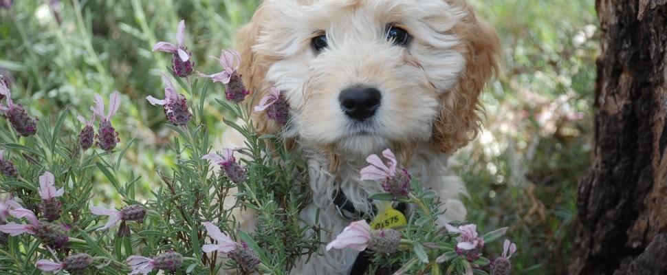puppy-1056124_1920
